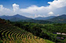 Koffieplantages Jamaica